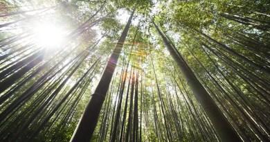 Bambù alleato dell'ambiente: un ettaro compensa emissioni annuali di circa 40 persone