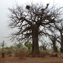 Sa majesté baobab