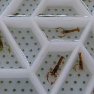 Bébés homards - 3 mois - 1er août 2013