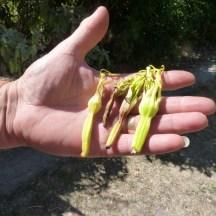 Pistil d'agave