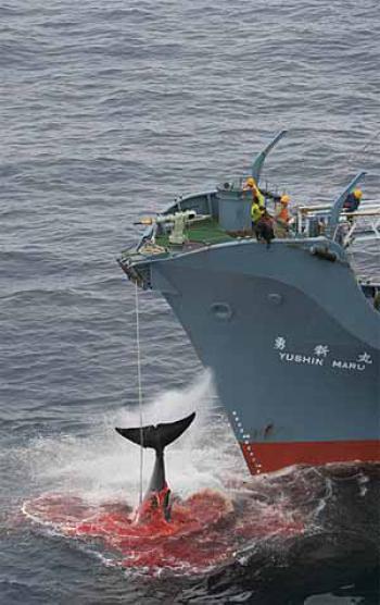 Le véritable coût de la chasse à la baleine au Japon