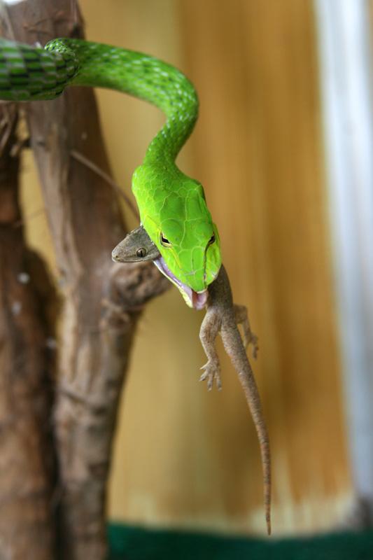 Serpent glouton