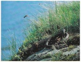 En av de gamle fortøynings- og kjølhalingsbol-tene utenfor gjestgiveriet i Oslebakke på Veier-land. I dette sundet kunne det i forrige århundre ligge titalls skuter oppankret på en gang.