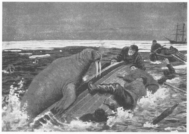 Svend Foyn sammen med sitt mannskap på hvelvet etter angrep fra en illsint hvalross.Illustrasjon i Nor-dal Rolfsens lesebok tegnet av Andreas Bloch.