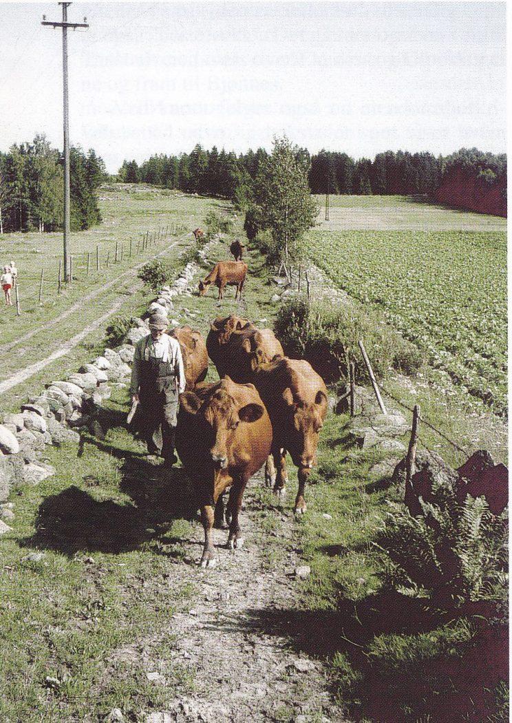 Fegata der steinene falt under jordskjelvet 5. juli 1905. Nå er både fegata, steingjerdet, kuene og bonden, Elias Fuglestrand, borte. (Foto utlånt av forfatteren.)