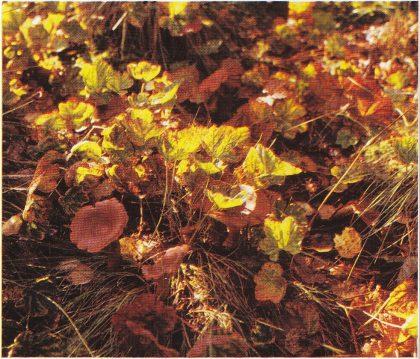 Multeplanter på Strengsdalsmyra. (Foto: Grethe Horn)