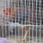 La Guàrdia Urbana decomisa 10 galls de baralla a Vallbona