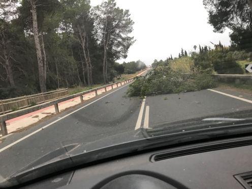 Un árbol caído por el temporal invade un carril de la carretera de Santa Gertrudis a Sant Miquel
