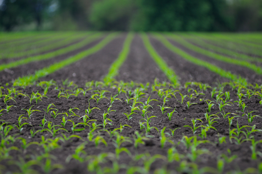 Seedlings growing in a corn field