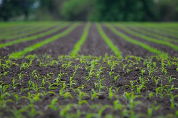 Seedlings growing in a corn field