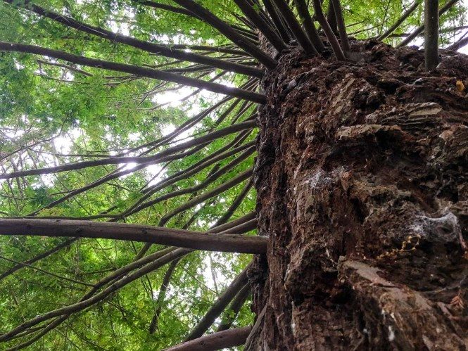 Looking up into a redwood tree