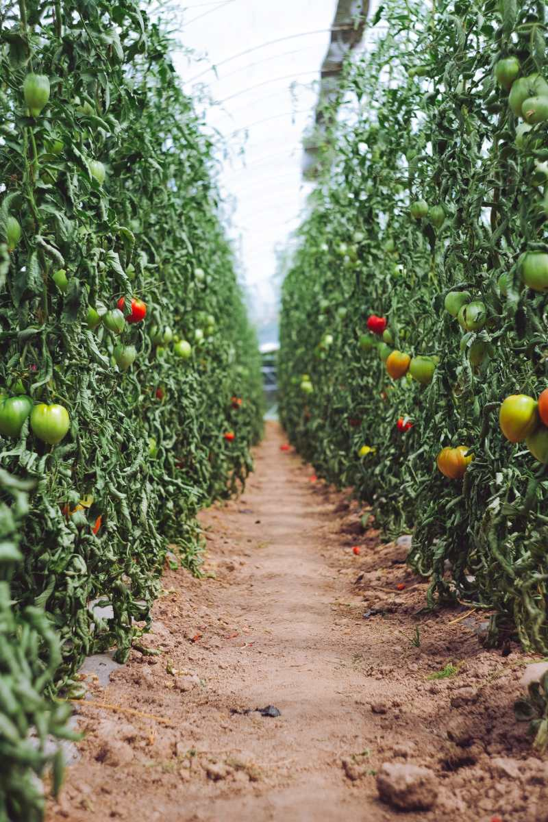 image of two rows of tomato vines