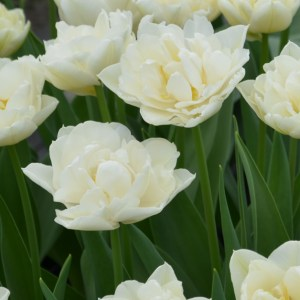 TULIPE DOUBLE HATIVE MONDIAL