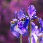 bulbe iris
