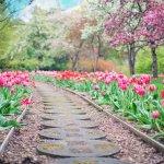 bulbe tulipe