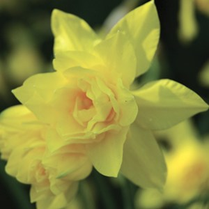 NARCISSE DOUBLE DOUBLE CAMPERNELLE