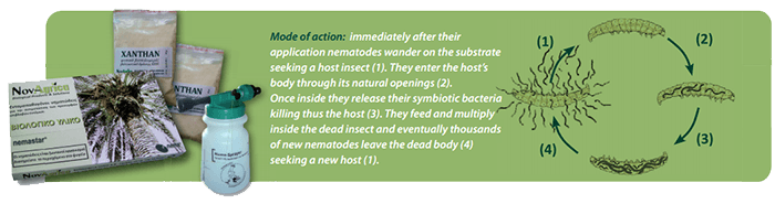 Mode of action: immediately after their application nematodes wander on the substrate seeking a host insect (1). They enter the host's body through its natural openings (2). Once inside they release their symbiotic bacteria killing thus the host (3). They feed and multiply inside the dead insect and eventually thousands of new nematodes leave the dead body (4) seeking a new host (1).