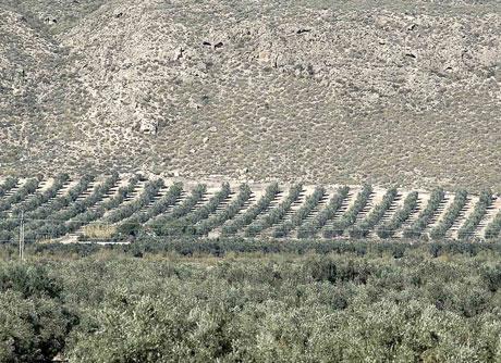Olivos de Tabernas.