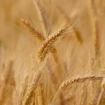 Ove godine manji rod pšenice