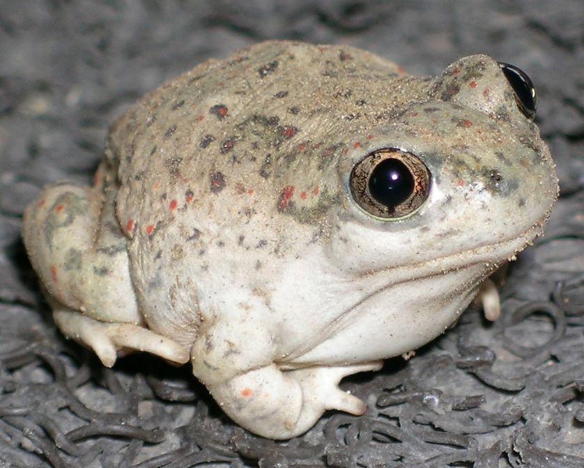 The New Mexico spadefoot toad is one of the species that has a peanut-buttery scent when stressed.