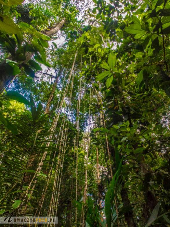 Dżungla Amazońska, w środku lasu