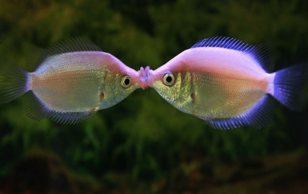 """Why don't you close your eyes when you kiss me?"" Kissing Gouramis from Southeast Asia are popular aquarium fish. People like them because they seem so affectionate. People are wrong."