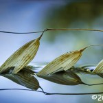 1st Place Plant Life - Seed Pods In Water by Sil Malalan