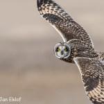 1st Place Wildlife - Short Eared Owl In Flight by Jan Eklof