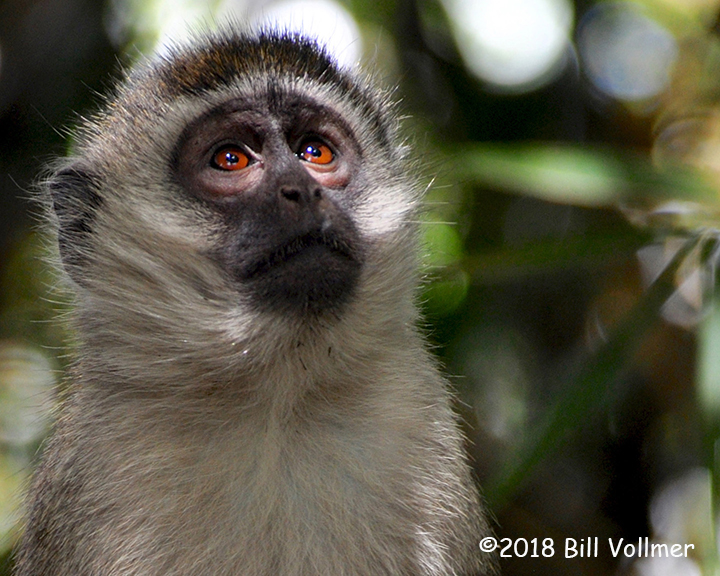 2nd Place Wildlife - Vervet Monkey by Bill Vollmer