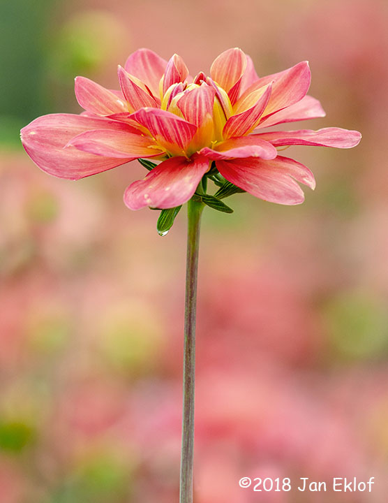 3rd Place Plant Life - Pink Dahlia by Jan Eklof