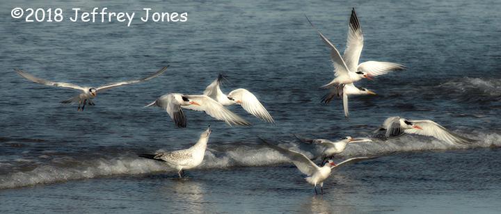 3rd Place Wildlife - Elegant Terns by Jeffrey Jones