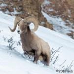 3rd Place Wildlife - Rambling Ram by Bob Ward