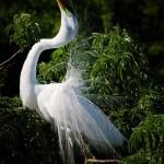 People's Choice Wildlife - Fancy Egret by Bert Steele