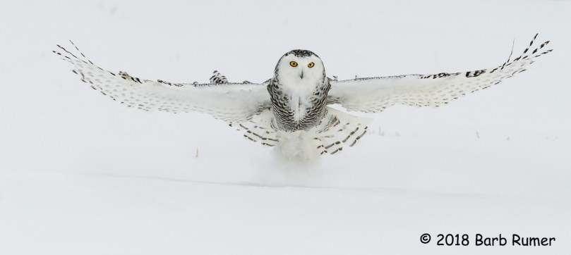 1st Place Wildlife - White Ghost of the North by Barb Rumer