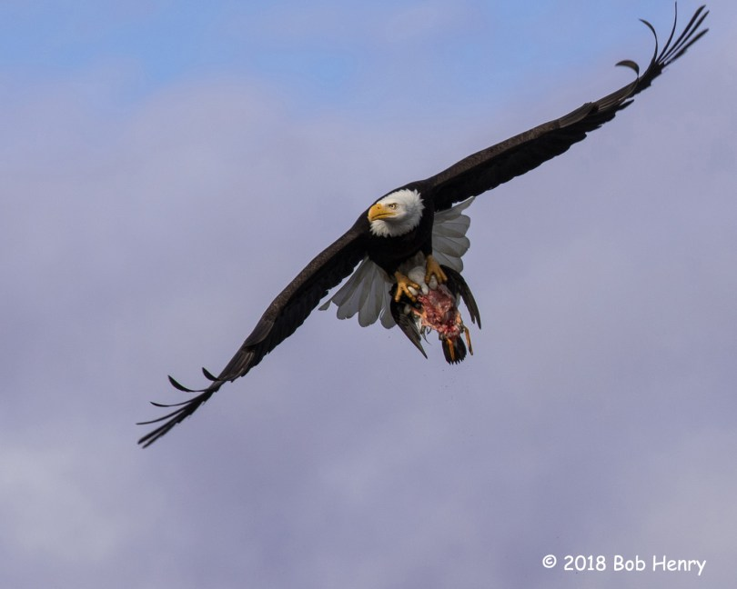 3rd Place Wildlife - Bald Eagle by Bob Henry