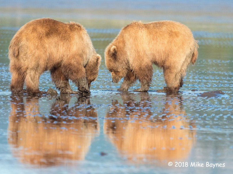 3rd Place Wildlife - Clam Digging by Mike Baynes