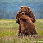 3rd Place Wildlife - Katmai Grizzlies by Albert Ryckman