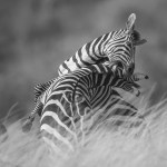 People's Choice Wildlife - Fighting Zebras by Albert Ryckman