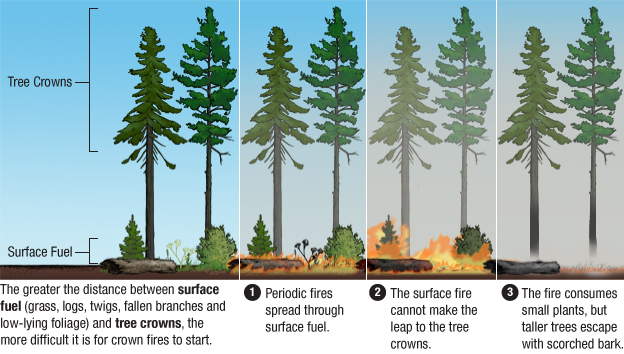 Graphic: Forests that have frequent fires experience fewer crown fires.