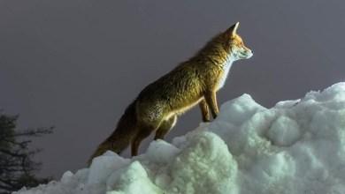 Photo of Η «παιχνιδιάρα» αλεπού στην Πάρνηθα -Εκπληκτικές εικόνες