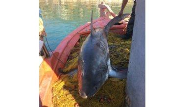 Photo of Καρχαρίας 4 μέτρων αλιεύτηκε στον Παγασητικό (Βίντεο)