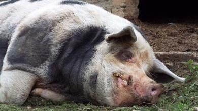 Photo of Σέρρες: Πανικός με κρούσμα αφρικανικής πανώλης των χοίρων