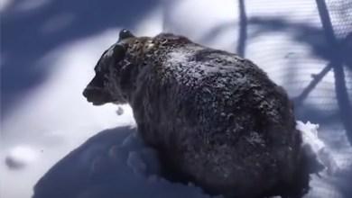 Photo of Η στιγμή που μια αρκούδα ξυπνά από τη χειμερία νάρκη