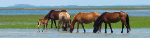 Watching horses on Shackleford Banks Cape Lookout
