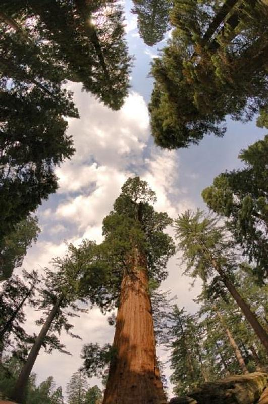 Looking up among giants in Grant Grove, Kings Canyon National Park