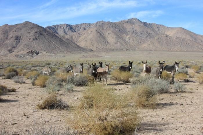 Invasive Burros - Death Valley National Park (U.S. National Park ...