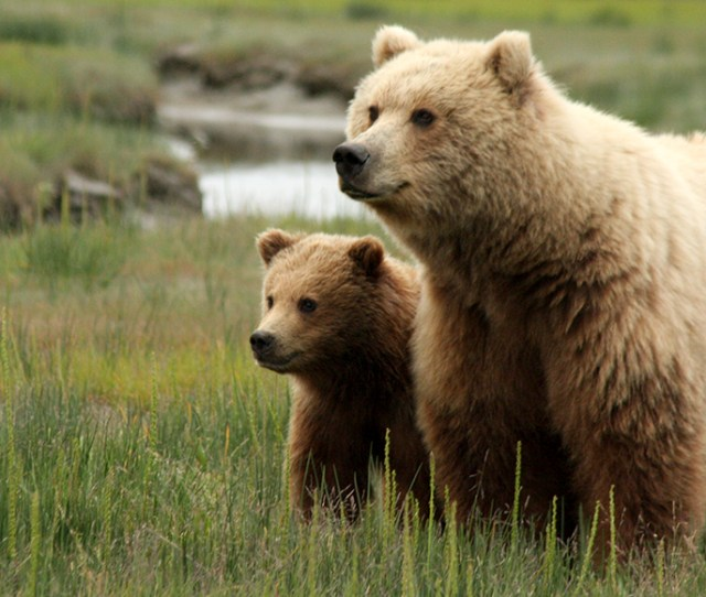 Photo Of A Brown Bear Sow With Yearling Cub Standing In A Green Meadow