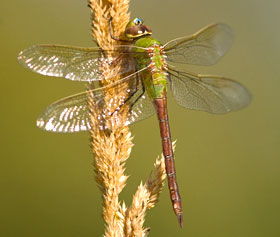 A Common Green Darner