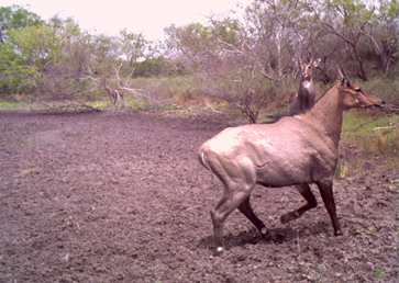 Adult male nilgai