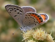 Female acmon blue butterfly on coyote brush flowers